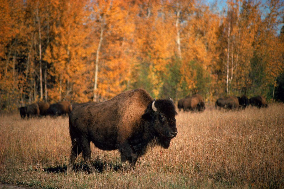 Sur cette photo prise au cœur du parc Wood Buffalo au Canada se tient un bison ...