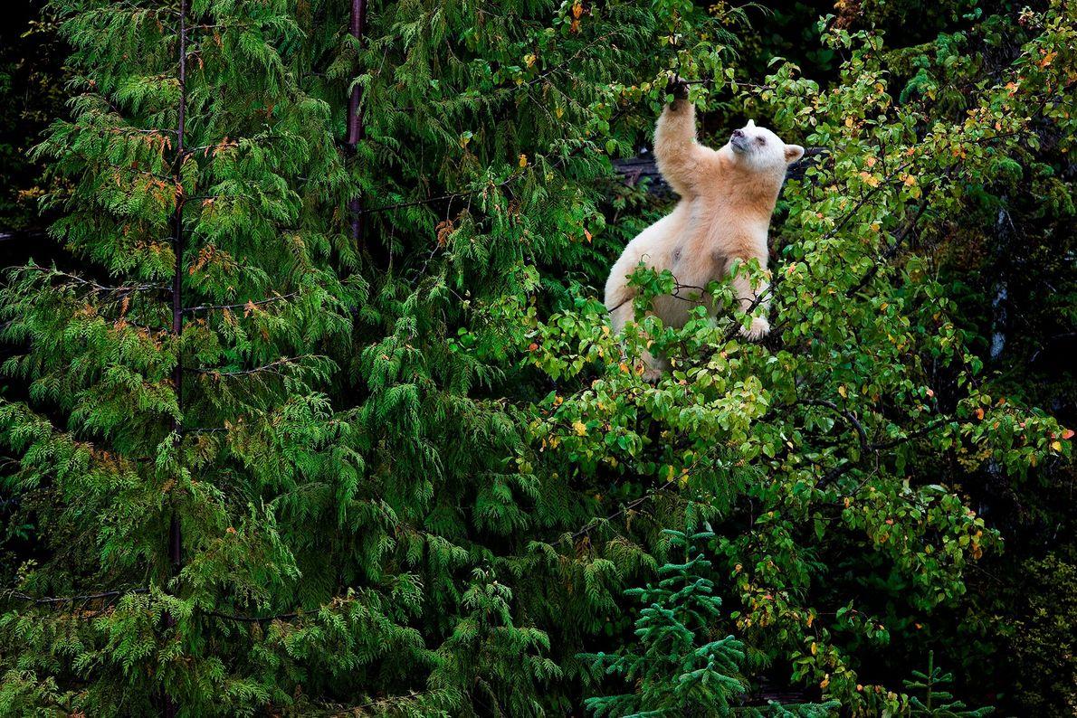 La pomme sauvage constitue le péché mignon des ours Kermode de la Colombie-Britannique. Le taux de ...