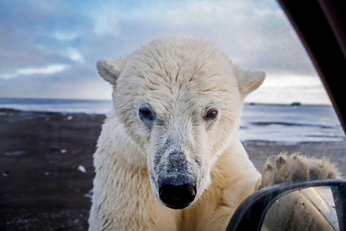 """""""Fin septembre chaque année, les ours polaires affluent vers la ville de Kaktovik, en Alaska, pour ..."""