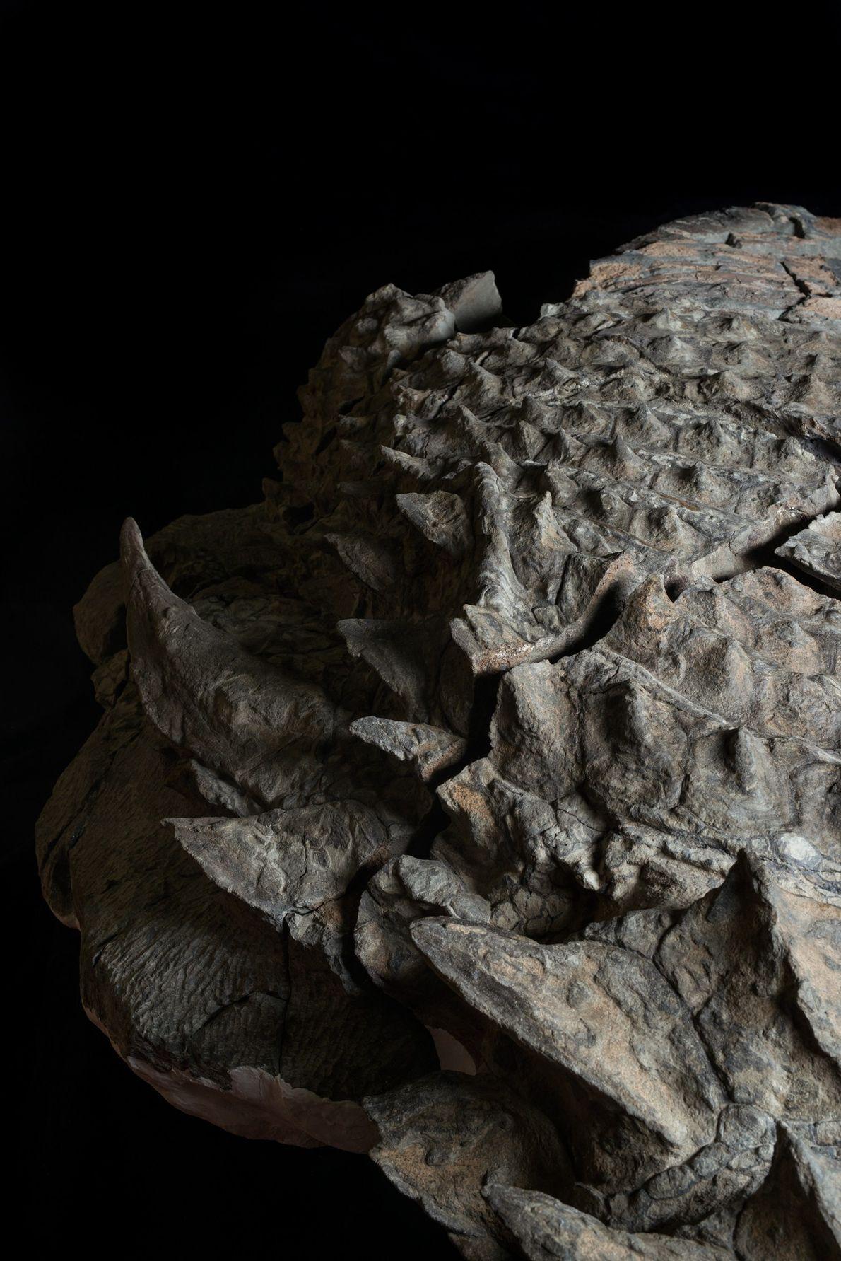 Contrairement aux membres plus connus appartenant à la famille Ankylosauridae, ce nodosaure ne possédait pas de ...