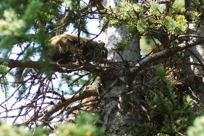 Les petits de cette femelle écureuil roux ont été tués par un mâle. La biologiste Jessica ...