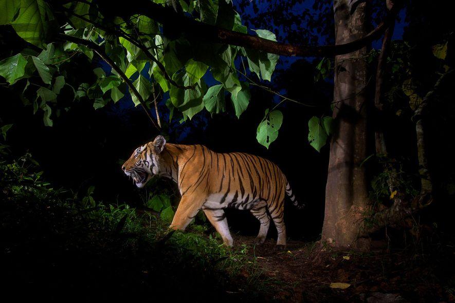 Ce tigre a été photographié grâce à un piège photographique dans un sanctuaire pour espèces sauvages ...
