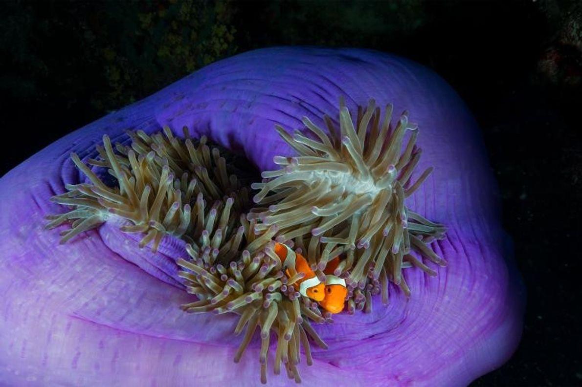 Un poisson-clown hébergé par une anémone sur le récif de Tubbataha, site classé au patrimoine mondial ...
