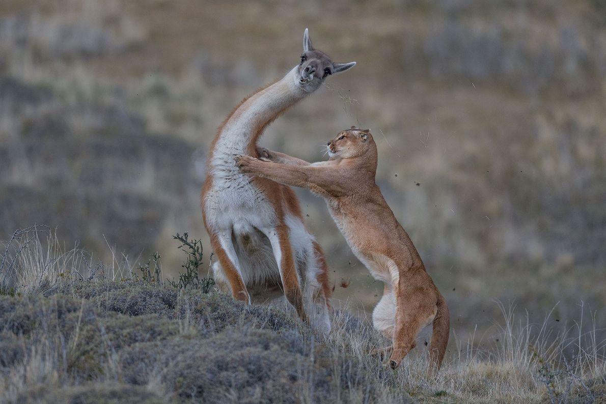 Pour cette image d'un puma en Patagonie tentant de mettre un guanaco au sol, photographiée pour ...