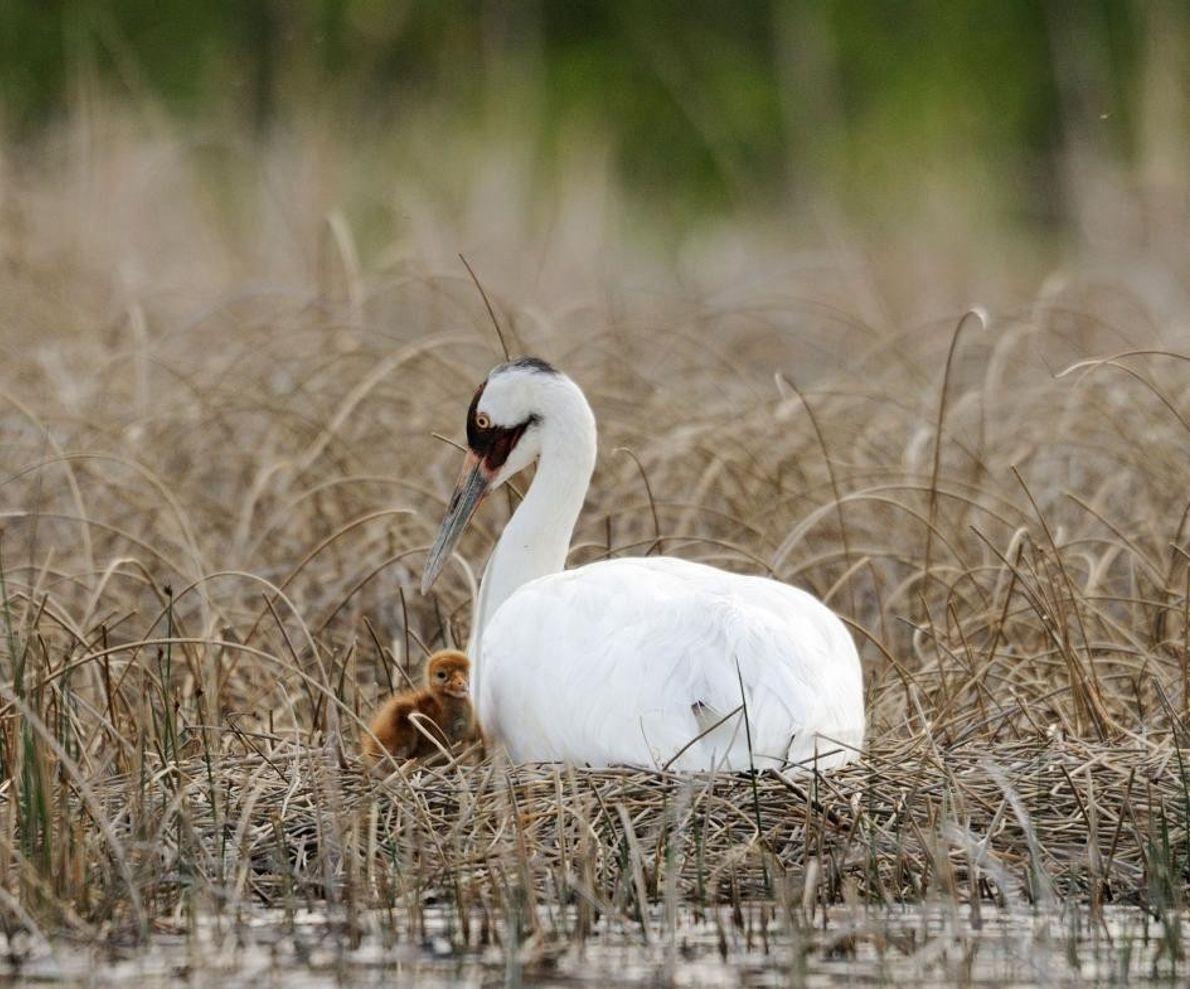 Une grue blanche veille sur son oisillon. Les couples d'oiseaux partagent les devoirs parentaux, se relayant ...