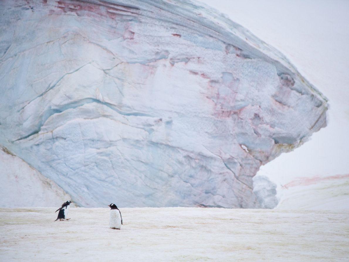 Des manchots papous sur l'île Petermann, en Antarctique, avec des algues de neige qui fleurissent sur ...