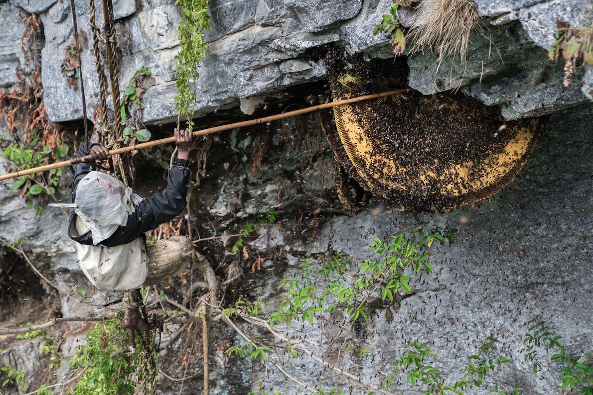 Première étape de la récolte du miel : Mauli Dhan dégage la ruche de ses milliers ...