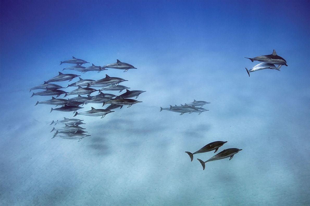 Des dauphins à long bec sont en quête de nourriture dans les profondeurs, avant de nager ...