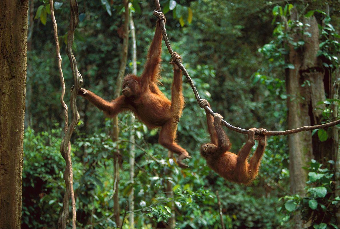 Dans une forêt de la partie malaisienne de l'île de Bornéo, deux orangs-outans s'accrochent à des ...