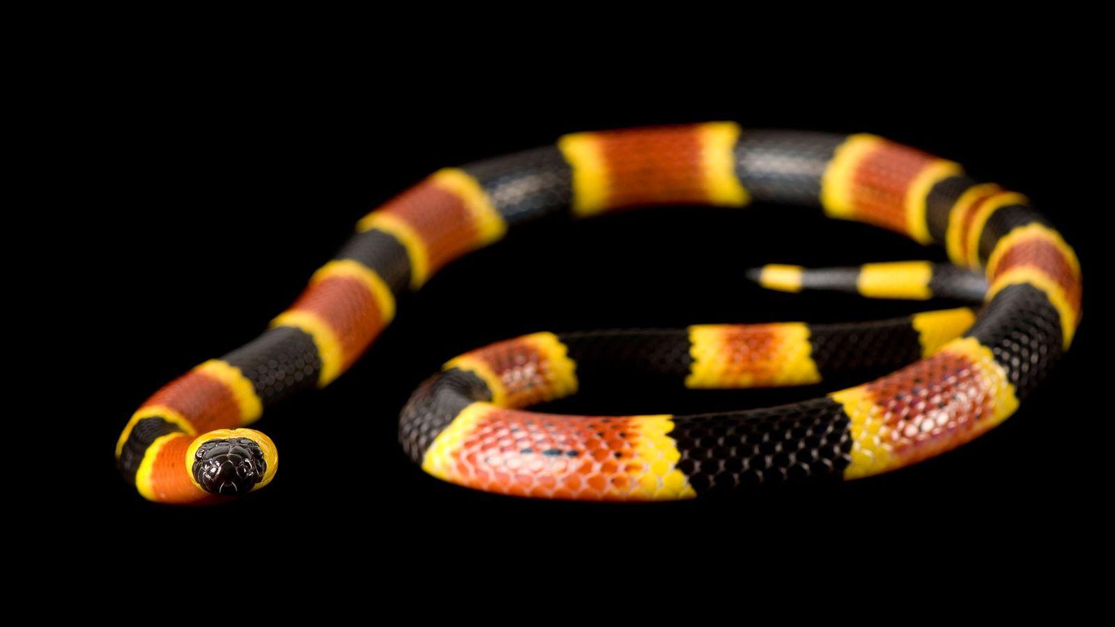 Photographié au zoo de Riverbanks en Caroline du Sud, ce serpent corail venimeux a un sosie ...