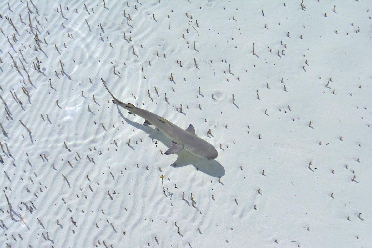 Un requin-citron perçant les eaux avec grâce.