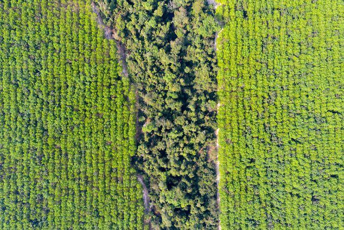 Une plantation de caoutchouc au sanctuaire Beng Per Wildlife au nord du Cambodge. La plupart des ...