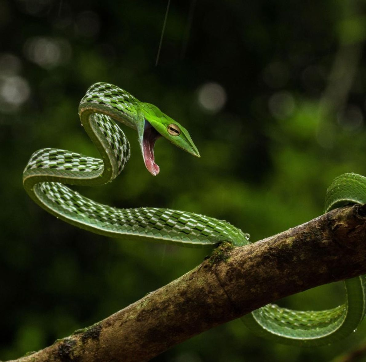 Serpent liane, Shimoga, Karnataka, Inde.