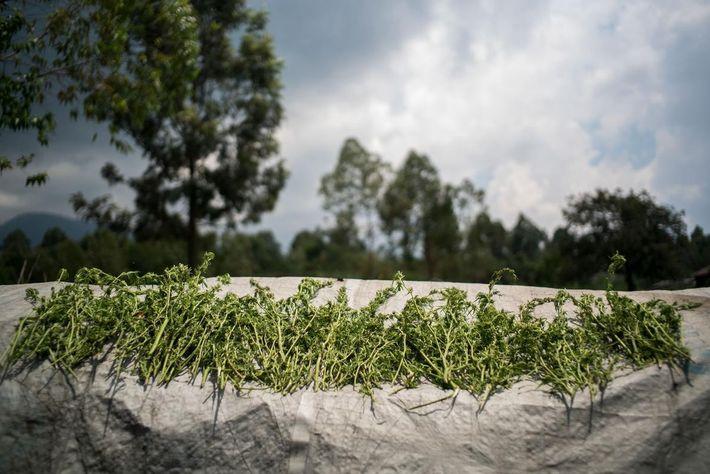 Les plantes sont rapportées au village et séchées au soleil. Elles sont utilisées comme médicaments ou ...
