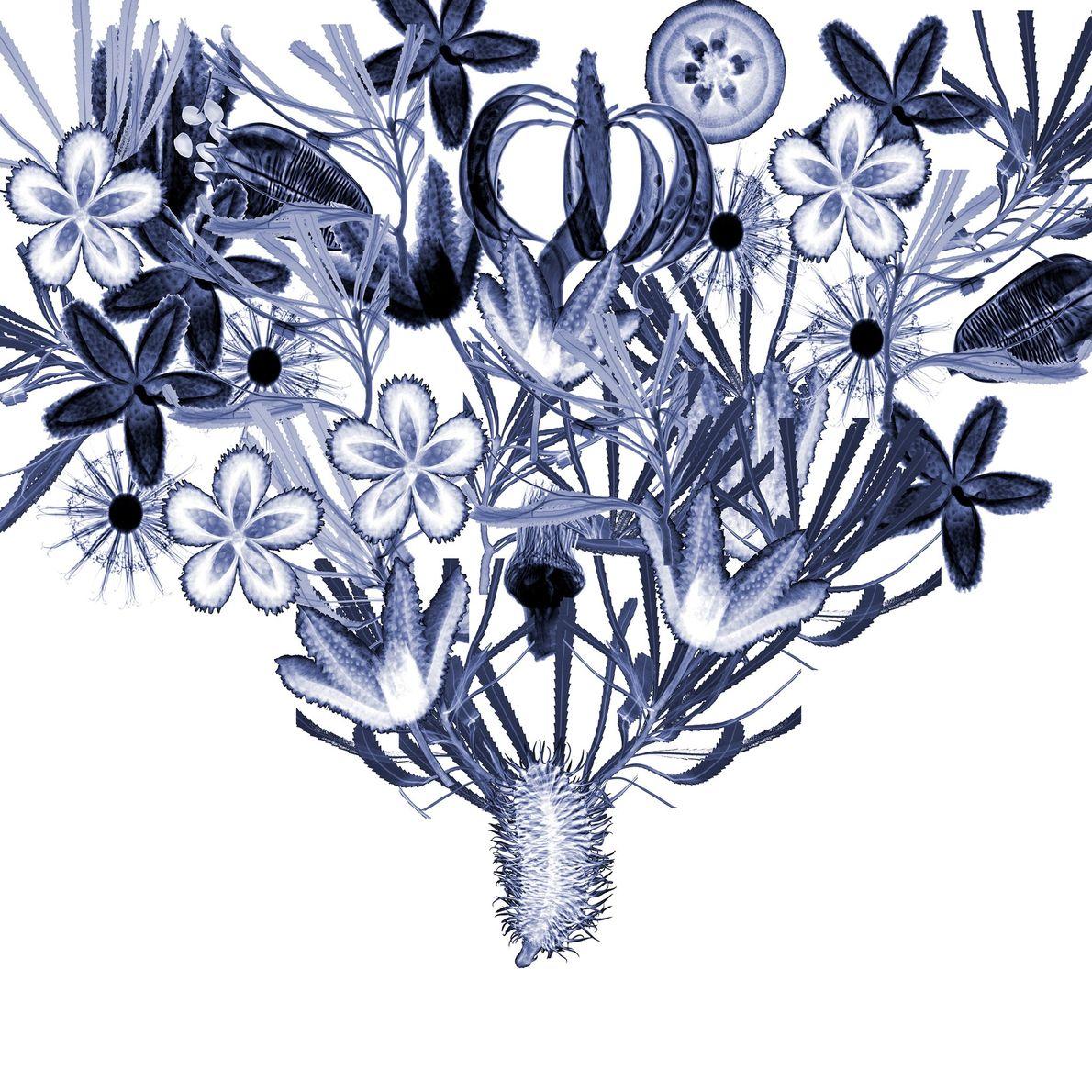 Ce collage de radiographies par rayons X montre une variété de plantes exclusivement visibles en Australie, ...