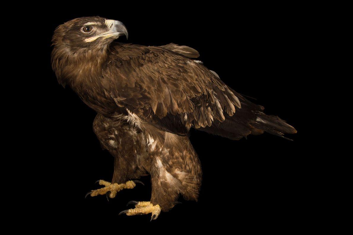 Un aigle des steppes, Aquila nipalensis, du zoo de Gauhati. On retrouve cette espèce d'oiseau migrateur ...