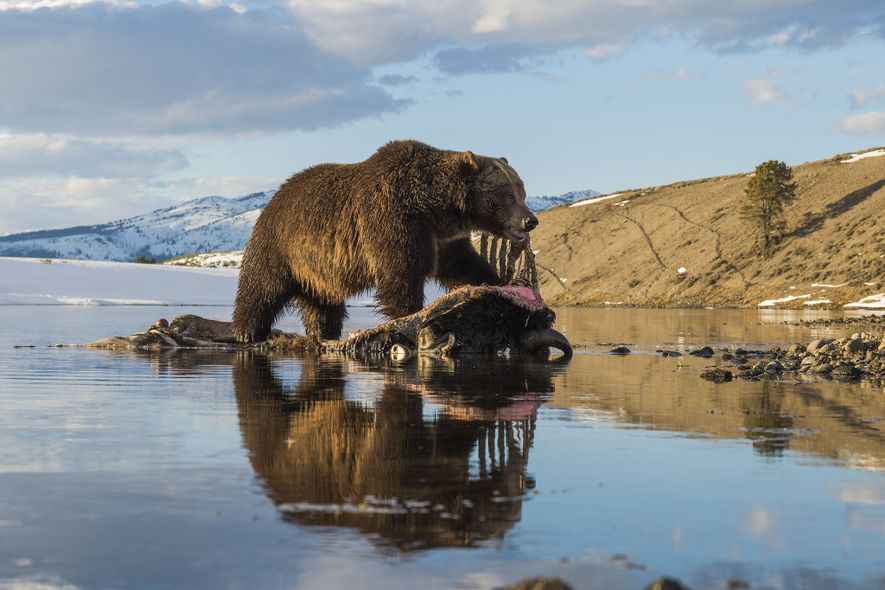 Une caméra cachée a surpris un grizzli en train de se nourrir de la carcasse d'un ...