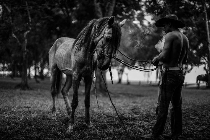 Un llanero se prépare à monter son cheval au cours du processus de domestication.
