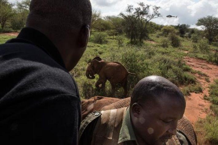 Un éléphanteau est pourchassé après que sa mère a été tranquillisée dans le parc national Ouest ...