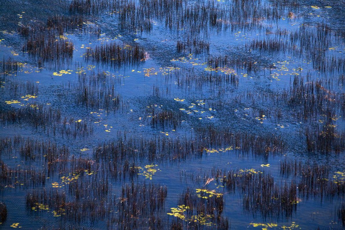 Des touffes d'herbe s'élèvent au-dessus du lac où elles poussent dans le parc national d'Acadia, dans ...