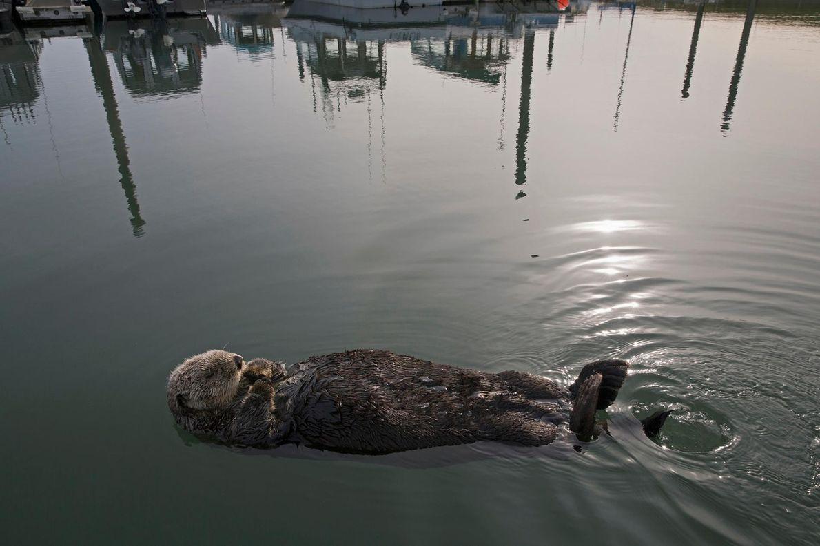 Une loutre de mer se prélasse près d'un hangar à bateaux à Homer, en Alaska.