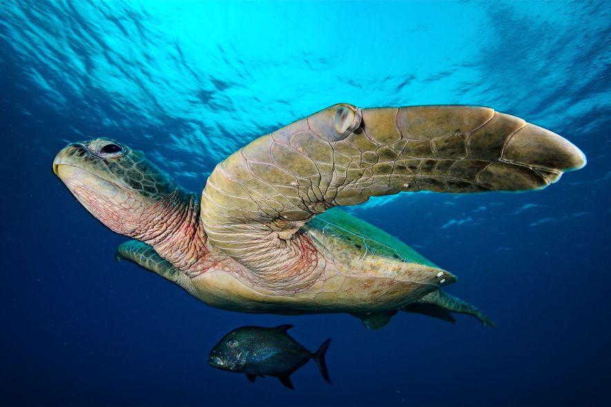 Dans les eaux de l'atoll North Reef du récif, un madeleineau nage dans l'ombre d'une grande tortue verte.