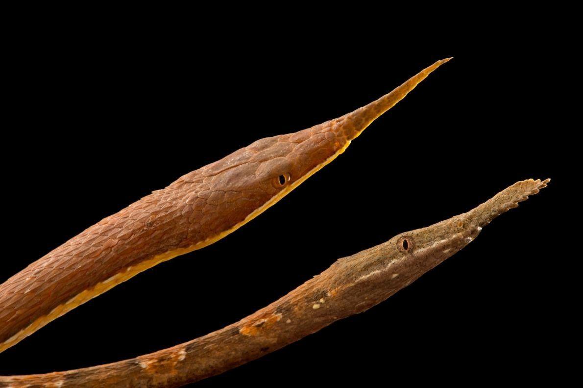 Deux couleuvres à nez feuille, Langaha madagascariensis, endémique de Madagascar.