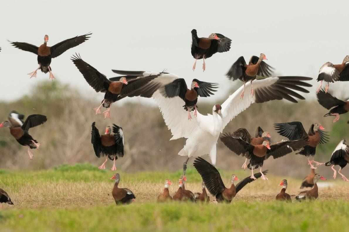 Des canards prennent d'assaut l'espace de la grue. Lorsqu'elle est secouée, la grue blanche pousse un ...