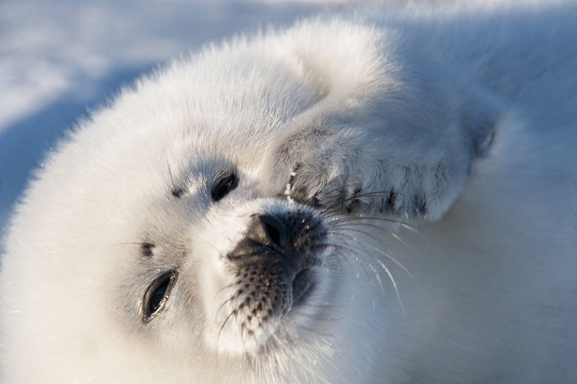08_harp_seal