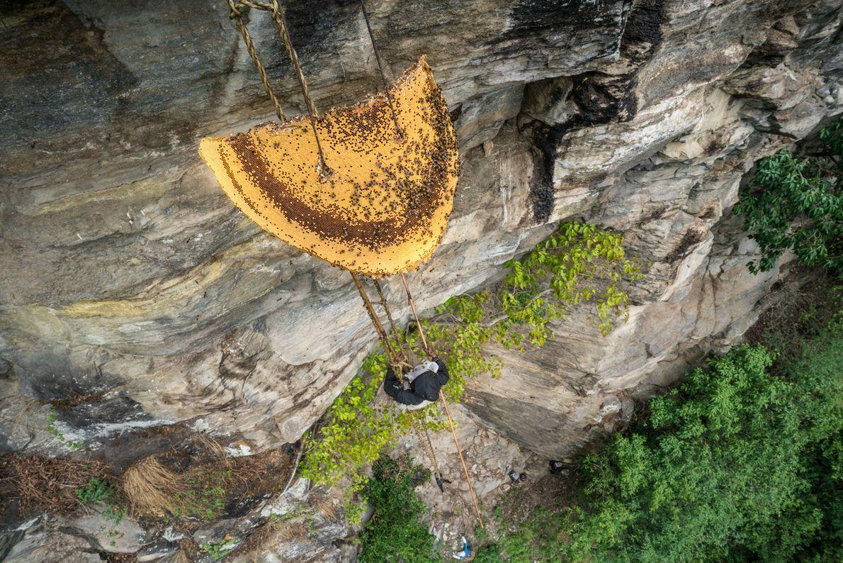 Une ruche d'abeilles de l'Himalaya de deux mètres de diamètre est descendue le long de la ...