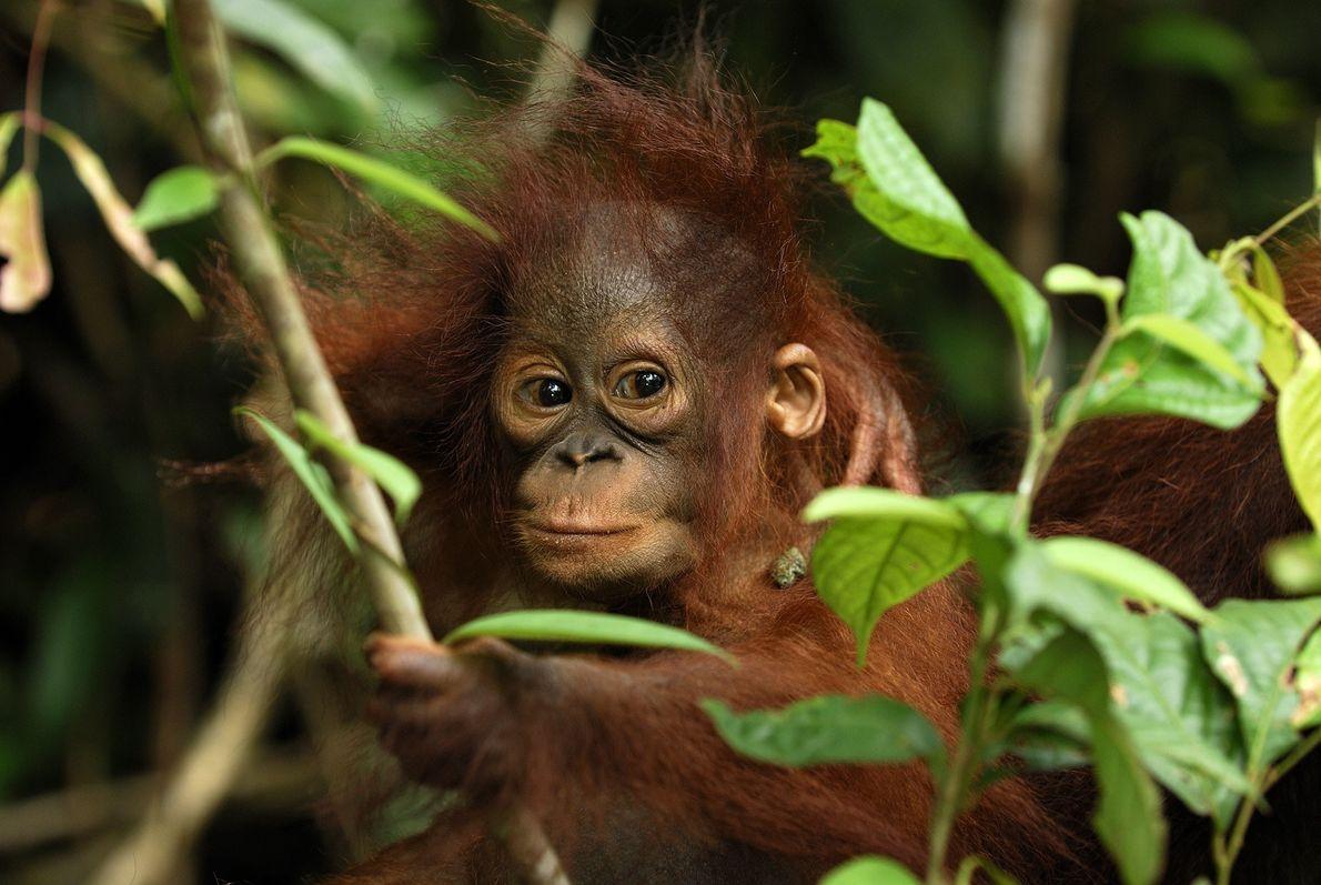 Un bébé orang-outan perché dans les branches du Camp Leakey. Les jeunes orangs-outans sont allaités jusqu'à ...