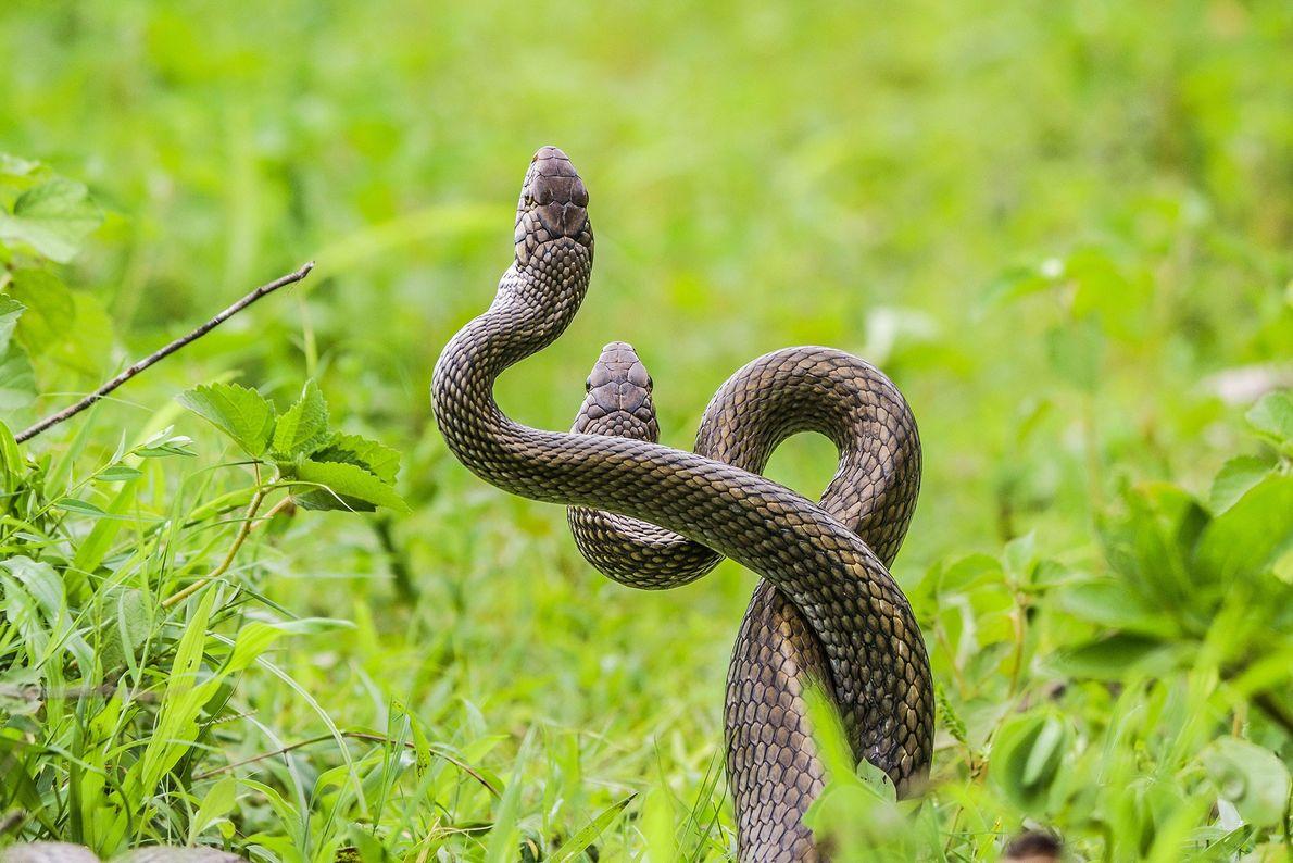 Deux serpents (Ptyas mucosa) s'entortillent pour régler leur conflit.