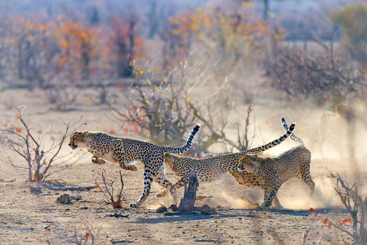 Trois guépards joueurs courent. Leur mère les regarde en arrière-plan. Botswana.