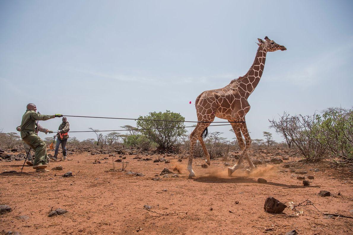 Les gardes-forestiers du Service de la faune kényan, sous la coupe du vétérinaire Mathew Mutinda, enroulent ...
