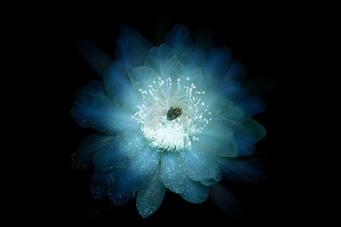Fleur de cactus orgue