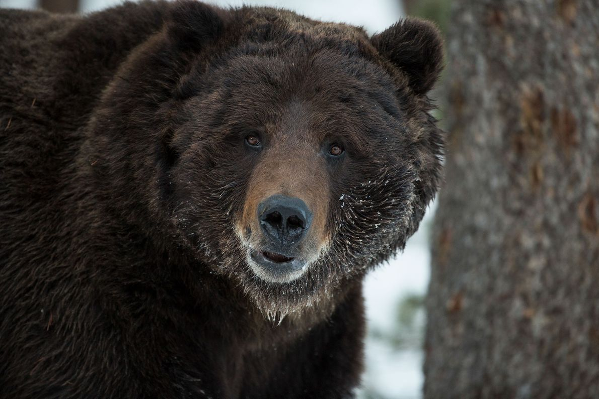 -grizzly-bear-yellowstone