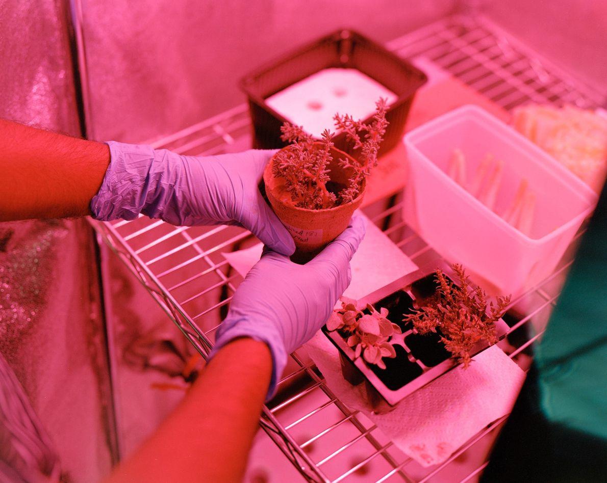 Ces plantes, cultivées dans le cadre d'une expérience de la Mars Desert Research Station, ont poussé ...