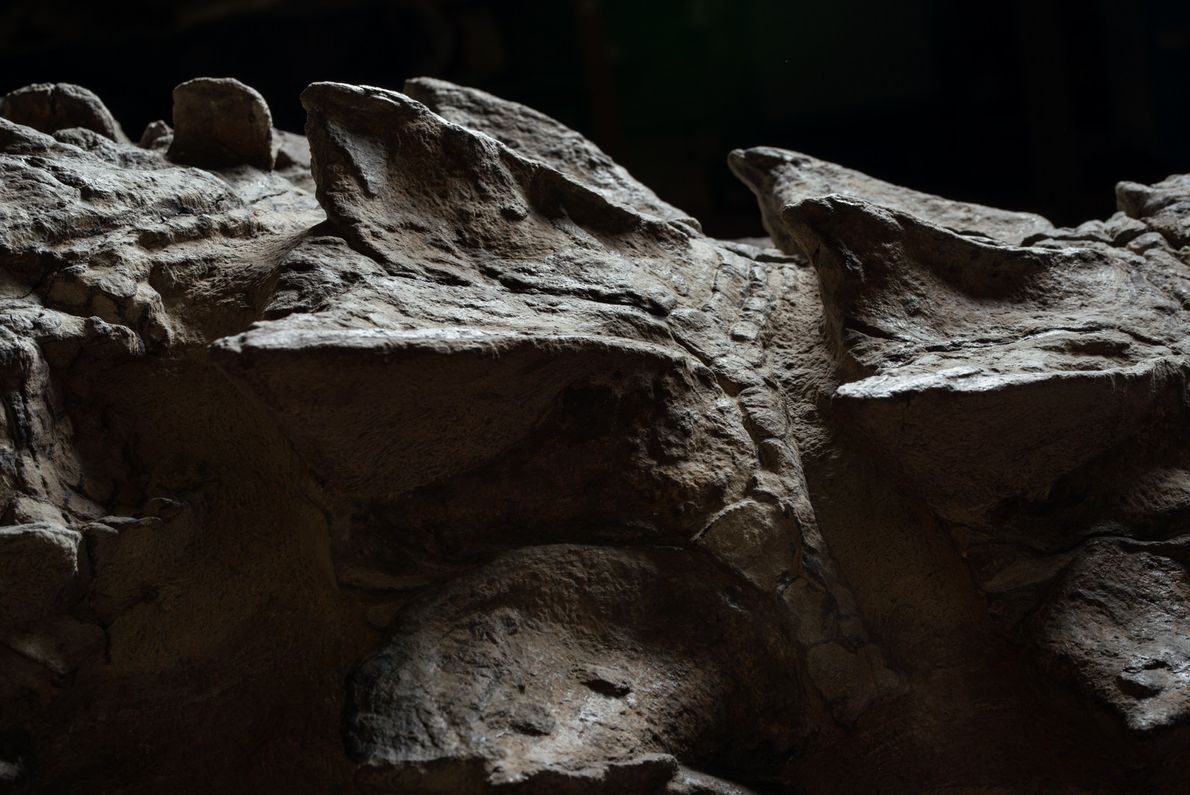 L'extraordinaire conservation du nodosaure a capturé son armure en 3D, légèrement écrasée par rapport à la ...
