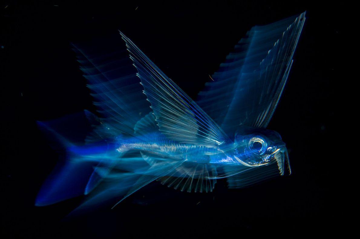« Vol de nuit » - une image de poisson volant au large de Palm Beach, ...