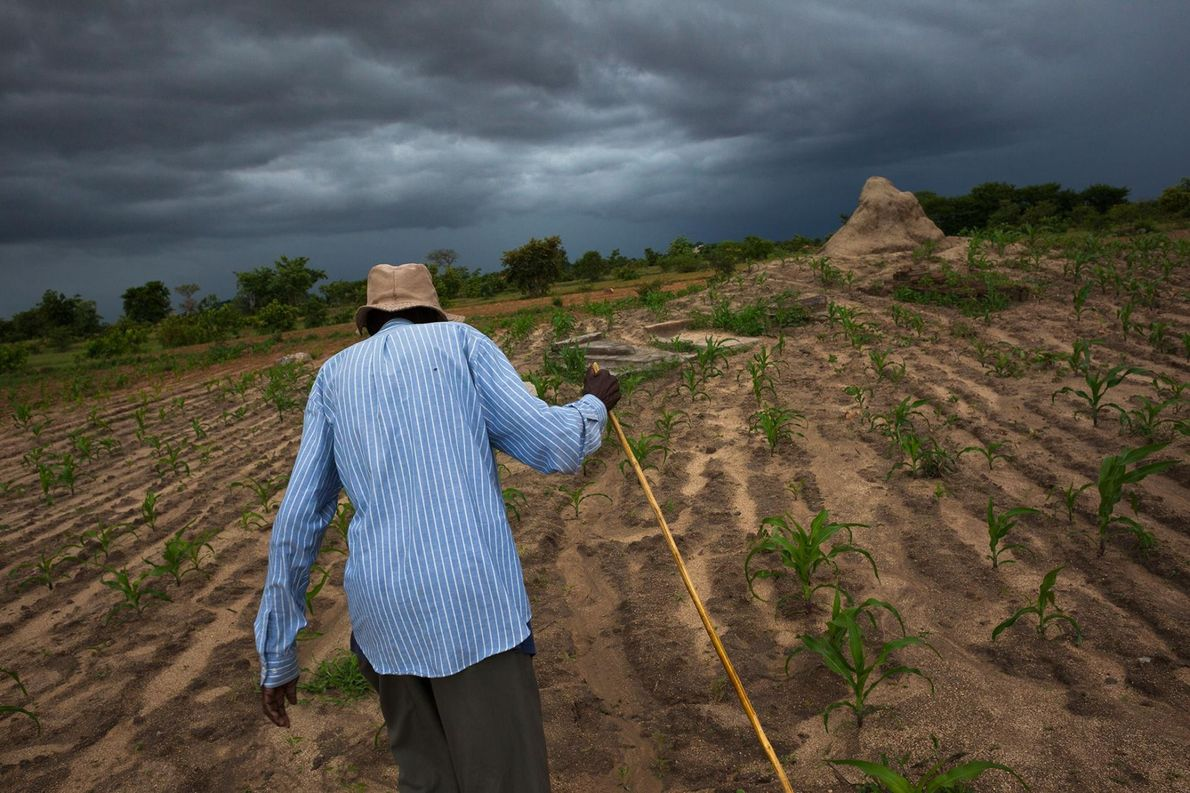 Un homme âgé traverse un champ de maïs pour aller se recueillir sur les tombes de ...
