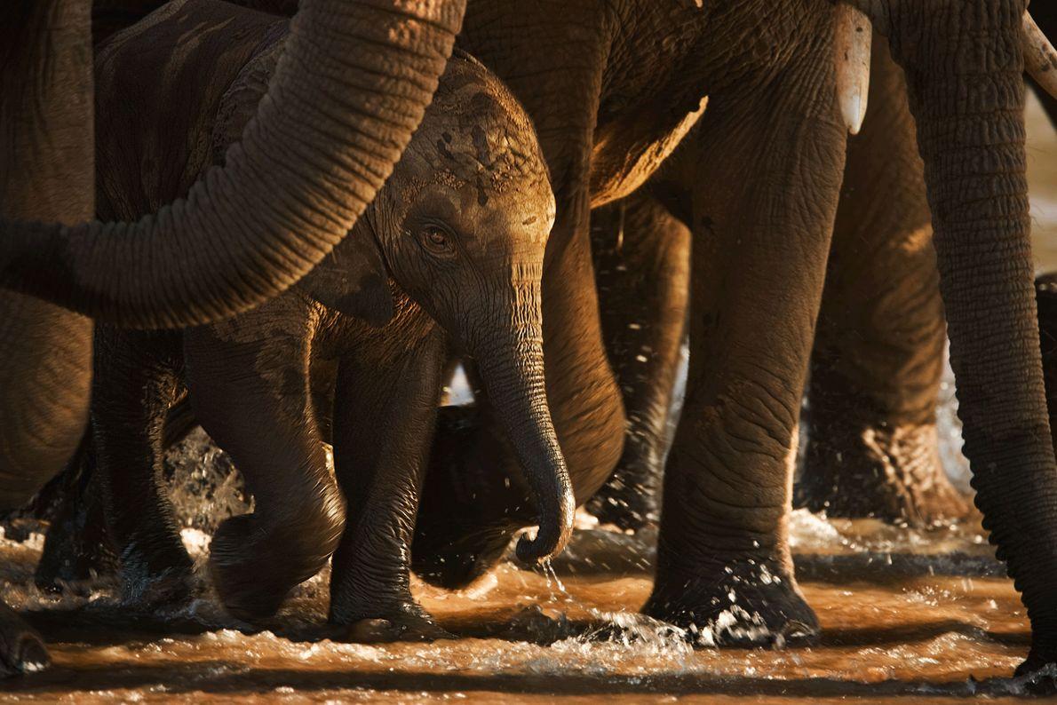 Un éléphanteau traverse la rivière Ewaso Ng'iro, protégé par les pattes des membres de sa famille.