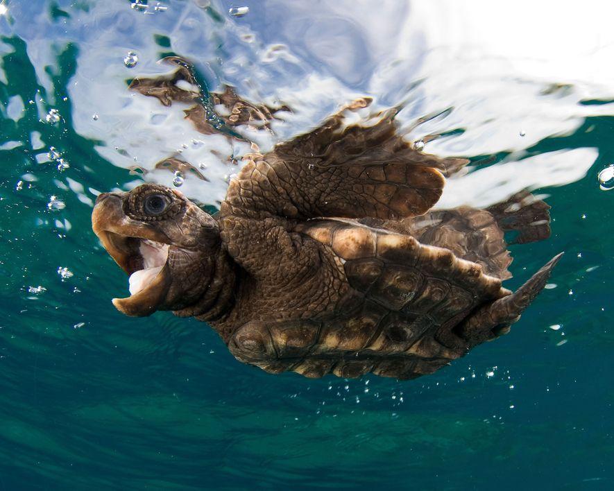 Un bébé tortue caouanne nage à la surface.
