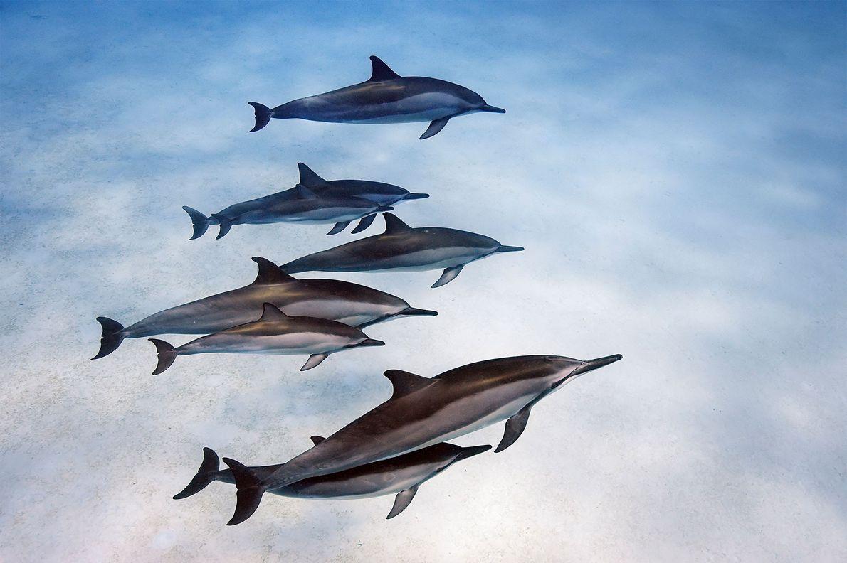 Au large d'Hawaï, les dauphins à long bec tissent des liens forts.