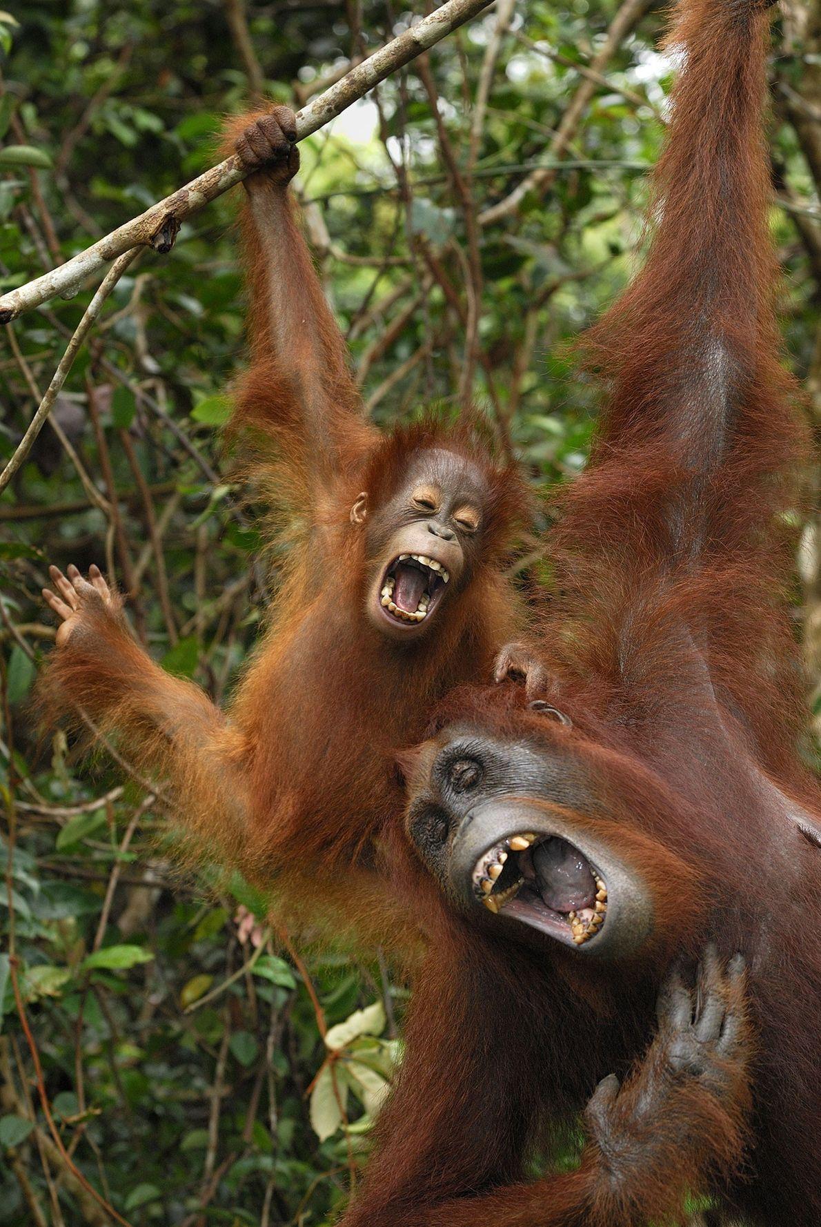 Les orangs-outans ont une large gamme de vocalises, comme le démontrent ici une femelle et son ...