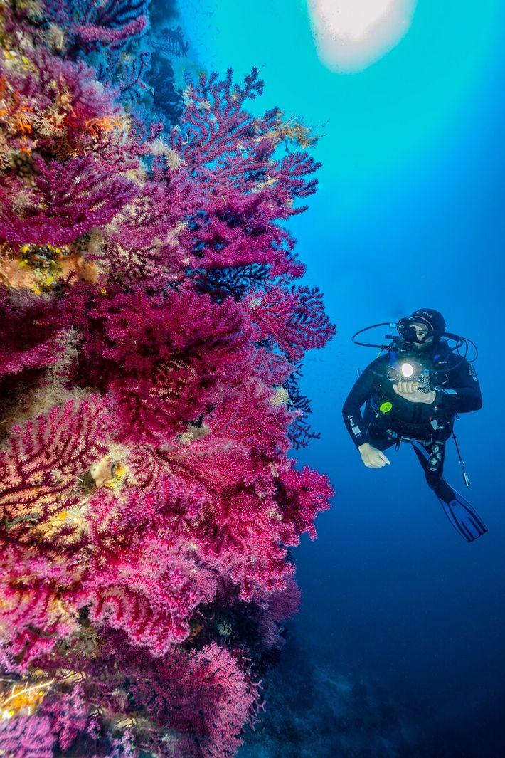Un plongeur évolue le long d'une paroi sous-marine recouverte de coraux aux couleurs chatoyantes au large ...