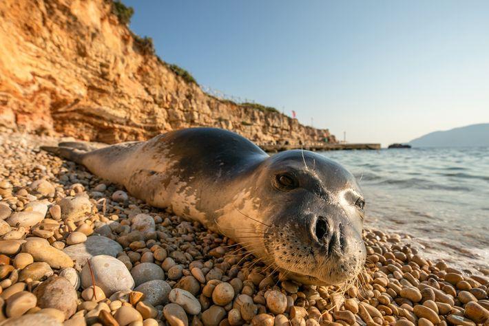 Un phoque moine de Méditerranée paresse sur la plage d'Alonissos. Cette île fait partie d'un parc ...