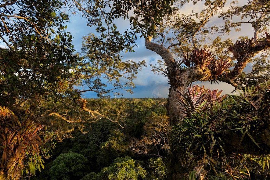 Broméliacées, fougères et orchidées couvrent un kapokier sous lequel des jaguars rôdent. Le parc national Yasuní, …