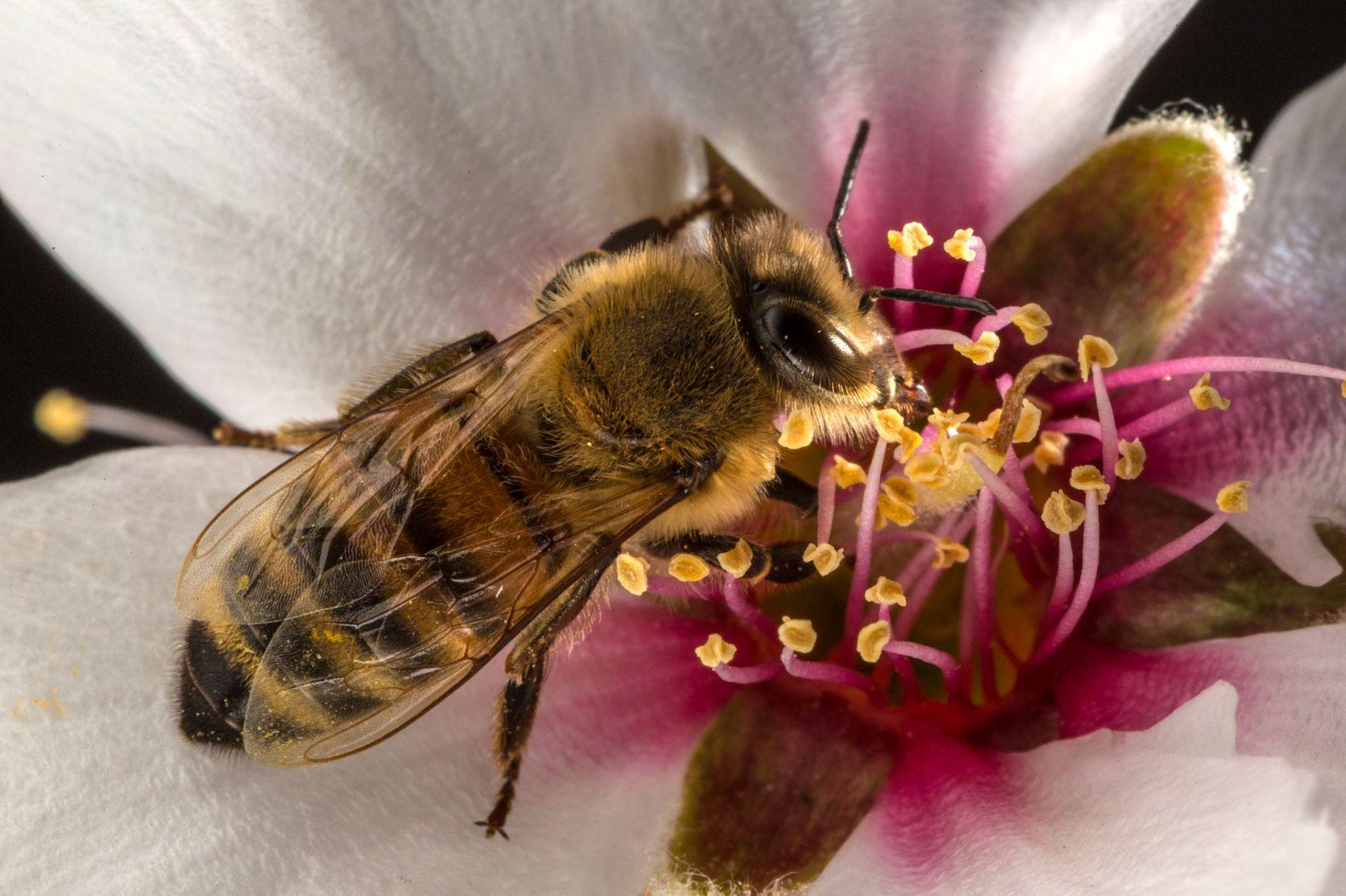 Les abeilles sont essentielles à de nombreuses cultures, dont celles d'amandes et de pastèques.