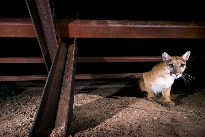 Un jeune puma traverse une barrière mobile près du San Bernardino Wildlife Refuge. Ces clôtures sont perméables ...