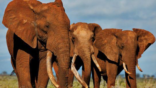 Éléphants dans le parc de Tsavo (Kenya)